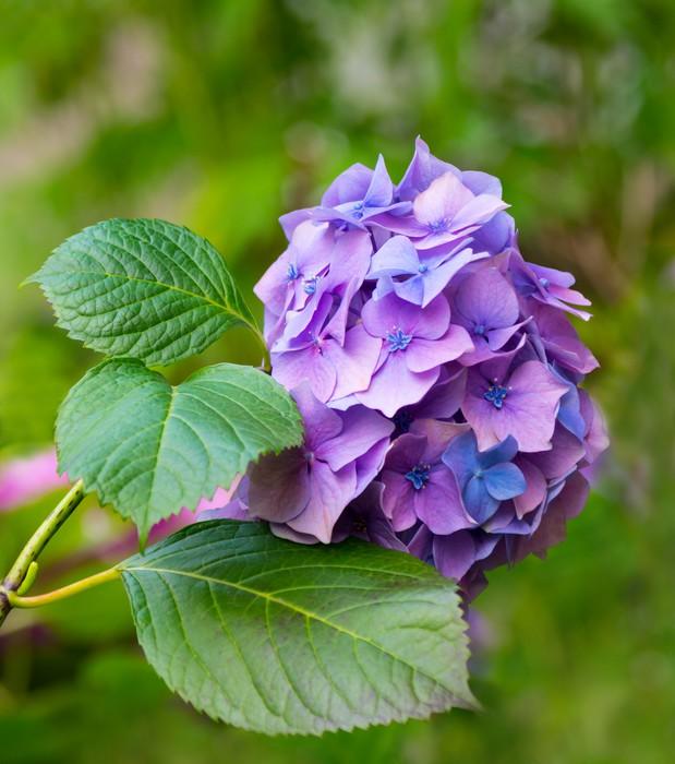 Vinylová Tapeta Hydrangea květiny - Květiny