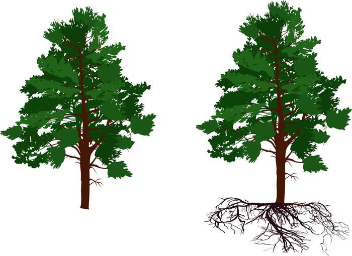Papier peint vert pin avec et sans racine sur fond blanc pixers nous vivons pour changer - Arbre sans racine envahissante ...