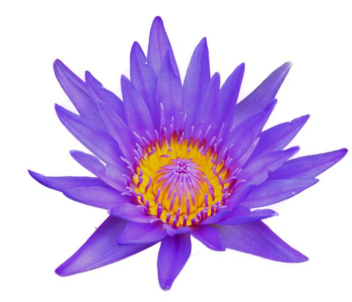 Artesanato Com Feltro ~ Adesivo Fiore di loto isolato su sfondo bianco u2022 Pixers u00ae Viviamo per il cambiamento