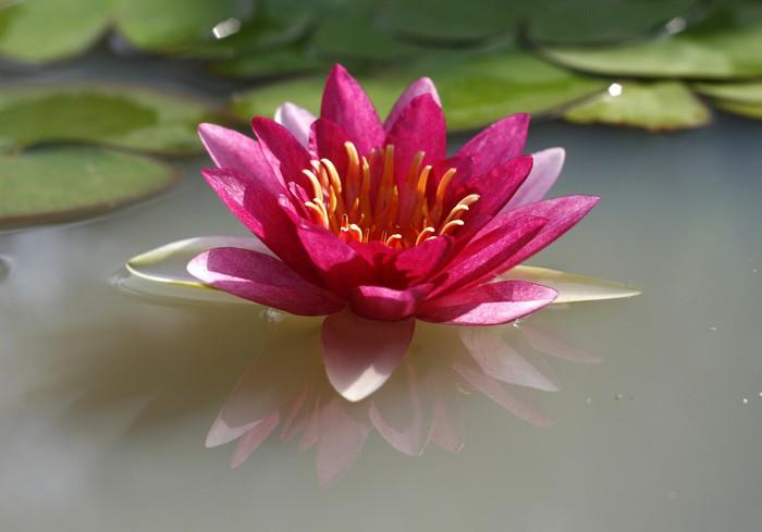 A Beautiful Pink Waterlily Or Lotus Flower In Pond Lack Table Veneer