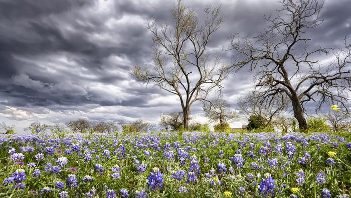 Vinylová Tapeta Bluebonnets v texaské vrchovině - Venkov