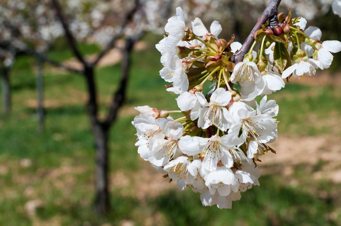 Vinylová Tapeta Třešňový květ květ (Španělsko) - Evropa