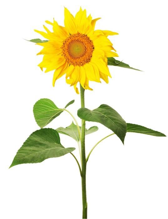 Vinylová Tapeta Slunečnice na bílém pozadí - Květiny