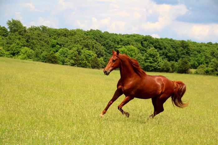 fototapete sauerampfer pferde laufen im sommerweiden. Black Bedroom Furniture Sets. Home Design Ideas
