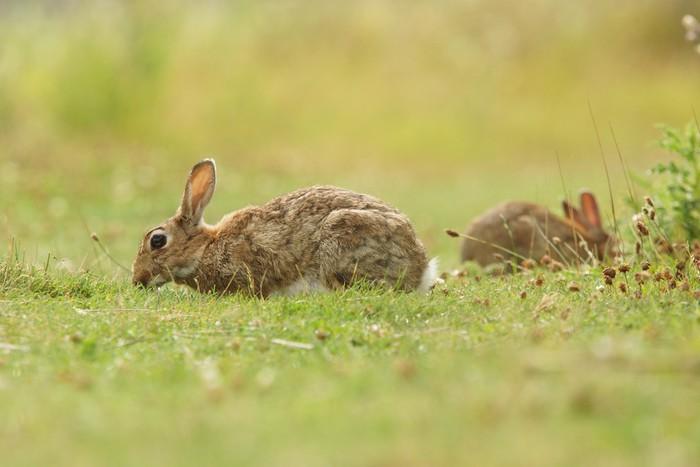 Vinylová Tapeta Evropský králík, společný králík, zajíc, Oryctolagus cuniculus - Savci