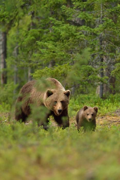 Vinylová Tapeta Medvěd hnědý se mládě v lese - Témata