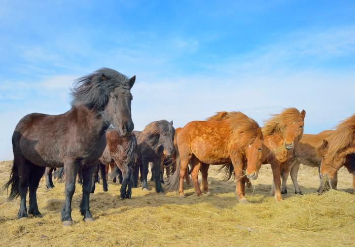 Poster chevaux islandais gratuits pixers nous vivons - Chevaux gratuits ...