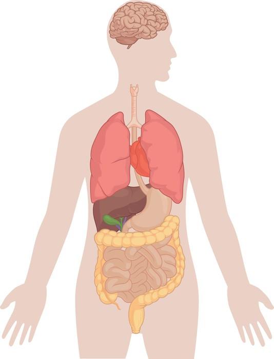 Fototapete Menschlicher Körper-Anatomie - Gehirn, Lunge, Herz, Leber ...