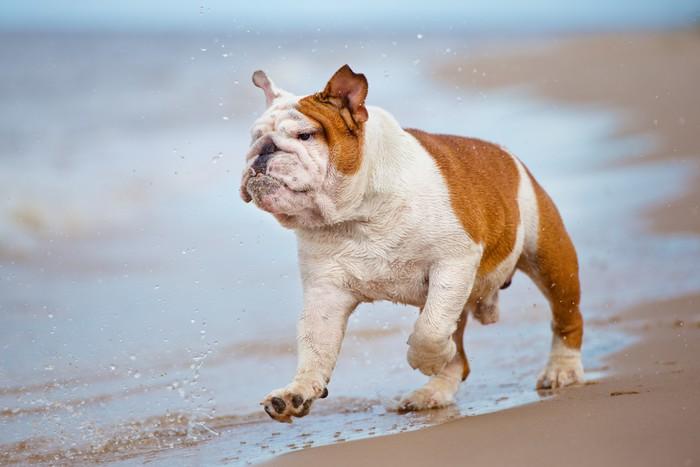 Vinylová Tapeta Šťastný anglický buldok běžící na pláži - Savci