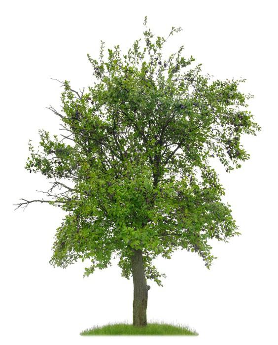 fototapete knorriger pflaumenbaum mit fr chten vor wei em hintergrund pixers wir leben um. Black Bedroom Furniture Sets. Home Design Ideas