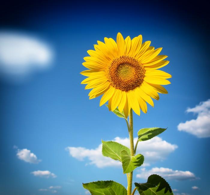Vinylová Tapeta Krásná krajina s slunečnicové pole nad cloudy modrou oblohu - Květiny