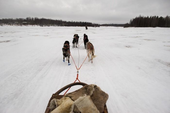 Vinylová Tapeta Psích spřežení, zatímco běží na sněhu - Savci