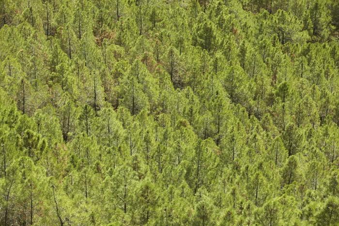 Vinylová Tapeta Borovice lesní terén ve Španělsku. Teruel - Evropa