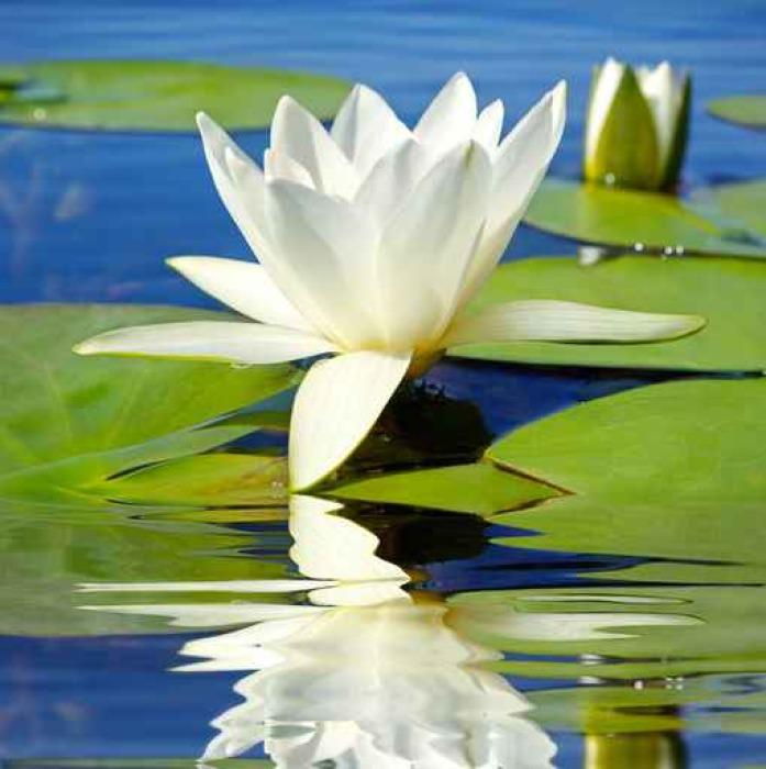 Vinylová Tapeta Bílá lilie kvetoucí jezero na pozadí zelených listů - Květiny