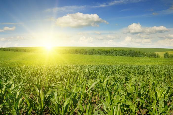 Vinylová Tapeta Krásný západ slunce na kukuřičné pole - Zemědělství