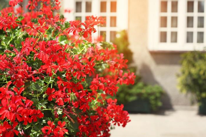 Fototapete Rote Blumen Schmucken Eine Fensterbank Auf Der Strasse