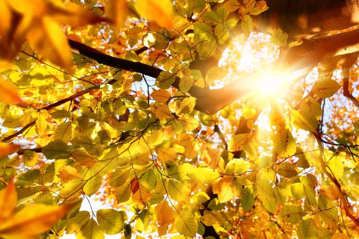 Vinylová Tapeta Podzimní slunce prosvítá bukovými listy - Stromy