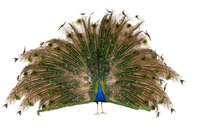 Vinylová Tapeta Indický páv - Ptáci