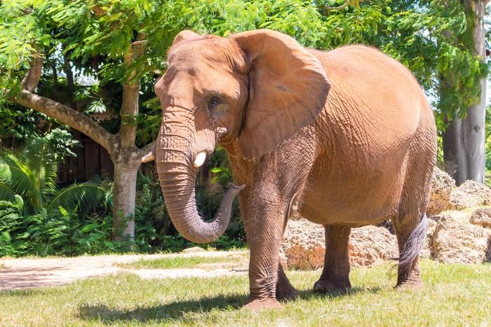 Vinylová Tapeta Muž Slon africký v Miami Metrozoo - Savci