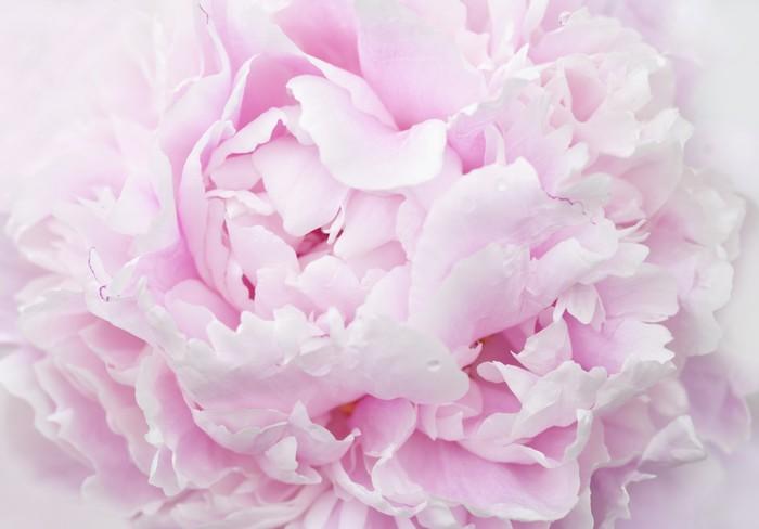 Nálepka Pixerstick Růžová pivoňka lístků close-up - Rostliny