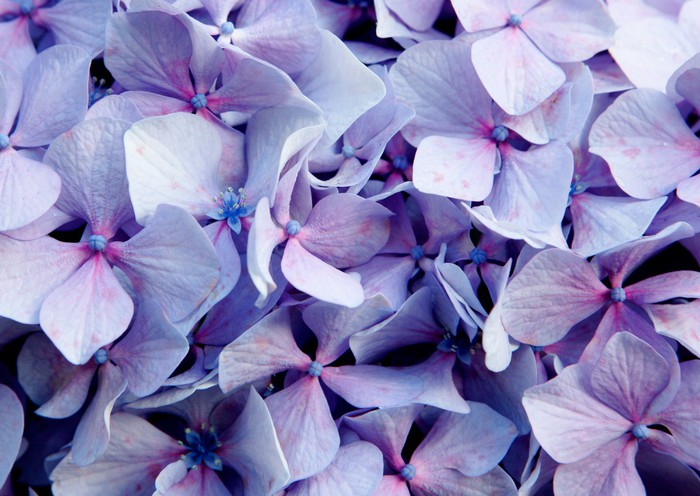 Close up photo of purple flower Wall Mural Pixers We live to change