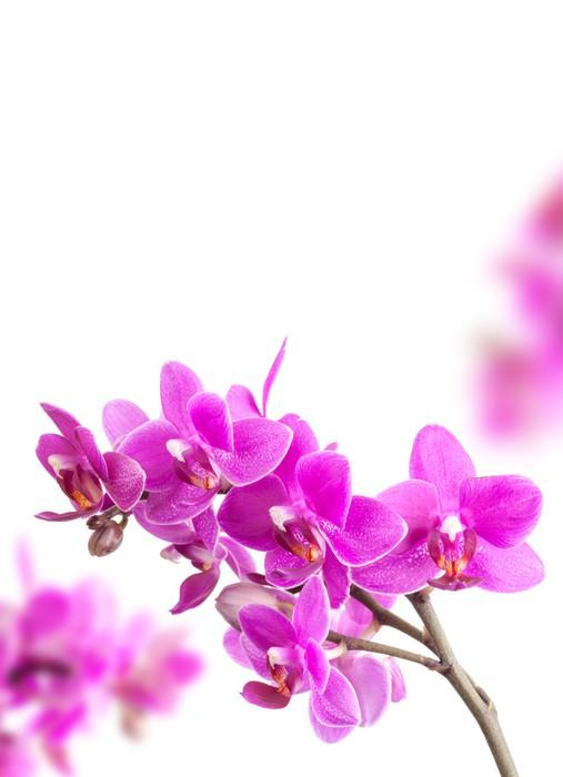 Vinylová fototapeta Pink Orchid květiny izolovaných na bílém pozadí - Vinylová fototapeta
