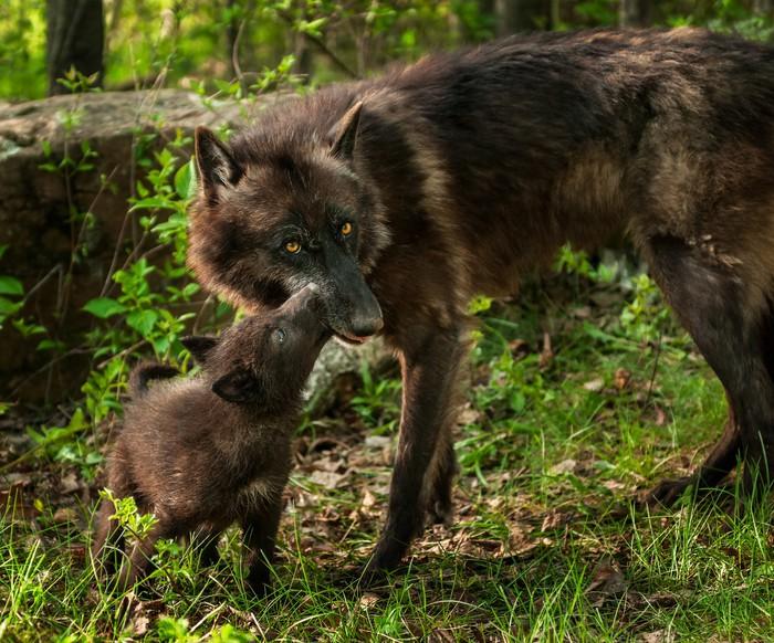 Vinylová Tapeta Černý vlk Pup (Canis lupus) olizovat Matka Mouth - Témata