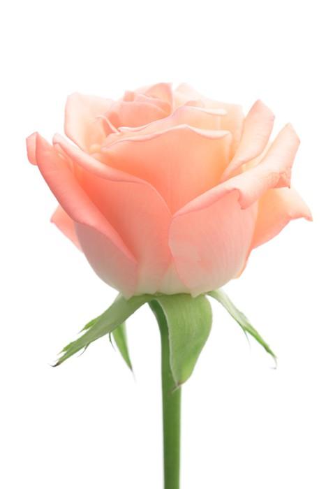 Vinylová Tapeta Růžové růže izolovaných na bílém pozadí. - Květiny