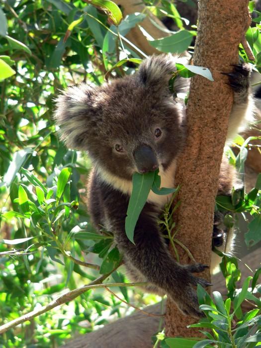 Vinylová Tapeta Koala mládě - Savci