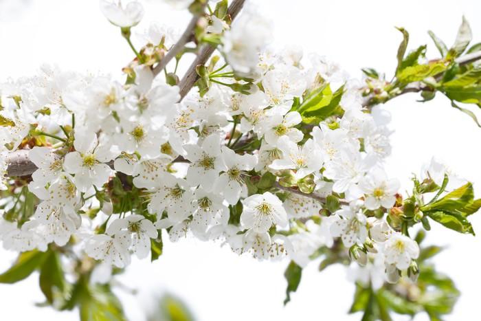 Carta Da Parati Fiori Di Ciliegio : Carta da parati fiori di ciliegio u pixers viviamo per il