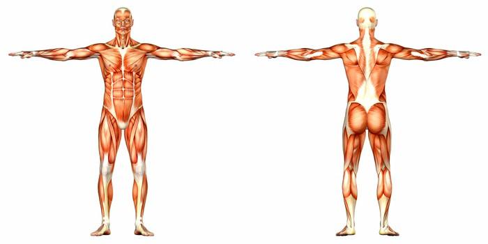 Vinilo Pixerstick Hombre Anatomía Humana Cuerpo - trasero y frontal ...