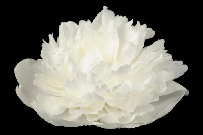 White peony flower on black background wall mural pixers we white peony flower on black background vinyl wall mural flowers mightylinksfo