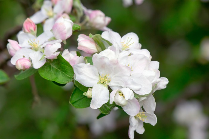 Vinylová Tapeta Pobočka kvetoucí jabloň na pozadí zelenou zahradu. - Květiny