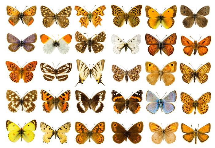 Vinylová Tapeta Butterfly set - Ostatní Ostatní