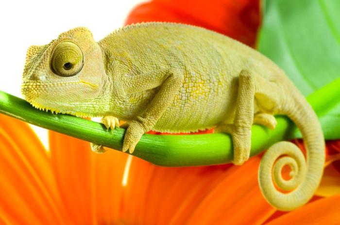 fototapete chameleon auf blume pixers wir leben um zu ver ndern. Black Bedroom Furniture Sets. Home Design Ideas
