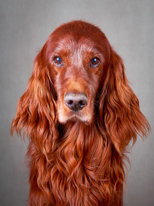 Adesivo red cane setter irlandese pixers viviamo per for Cane setter