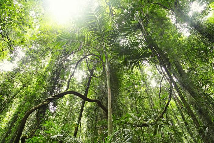 Papier Peint Vinyle Forêt tropicale - Forêt