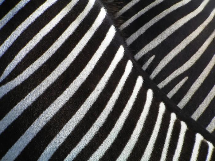 details of zebra Sticker - Pixerstick - Zebras
