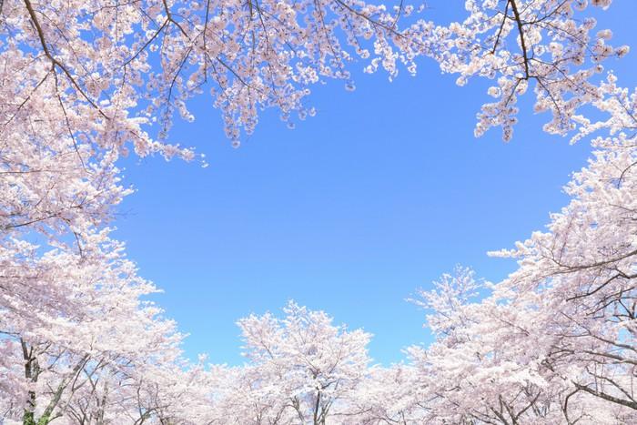 Vinylová Tapeta Třešňové květy v plném květu - Nebe