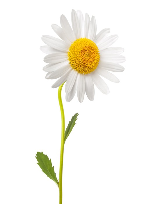 White daisy wall mural pixers we live to change for Daisy fuentes wall mural
