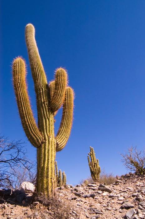 Vinylová Tapeta Pasacana Cactus (Trichocereus pasacana) - Amerika