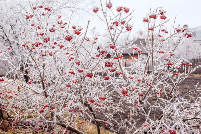 Vinylová Tapeta Ice-vztahuje větve kalina - Roční období