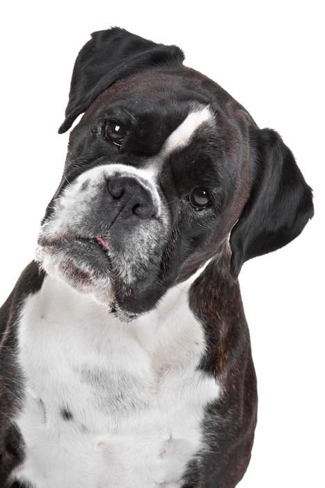 Vinylová Tapeta Boxer pes před bílým pozadím - Savci