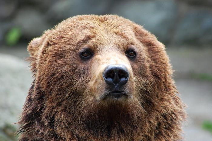 Vinylová Tapeta Medvědí hlava - Témata
