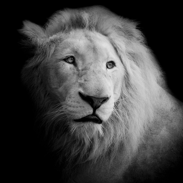 Black And White Lion Poster Themes