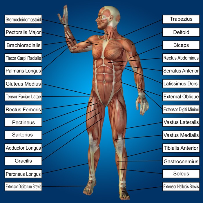 3d Human Male Anatomy With Muscles And Text Wall Mural Pixers