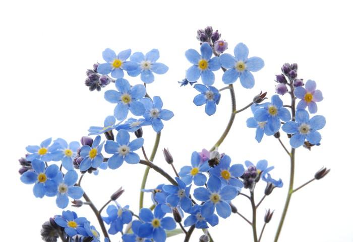 Cuadro En Lienzo Azul No Me Olvides Flor • Pixers