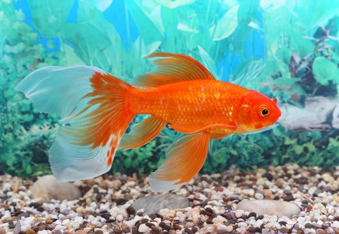 Papier peint poisson rouge pixers nous vivons pour for Acheter poisson rouge casablanca