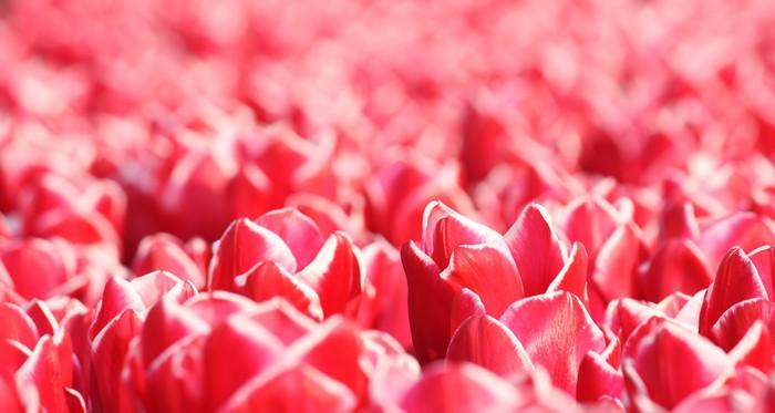 Triptyque Tulipes rouges -