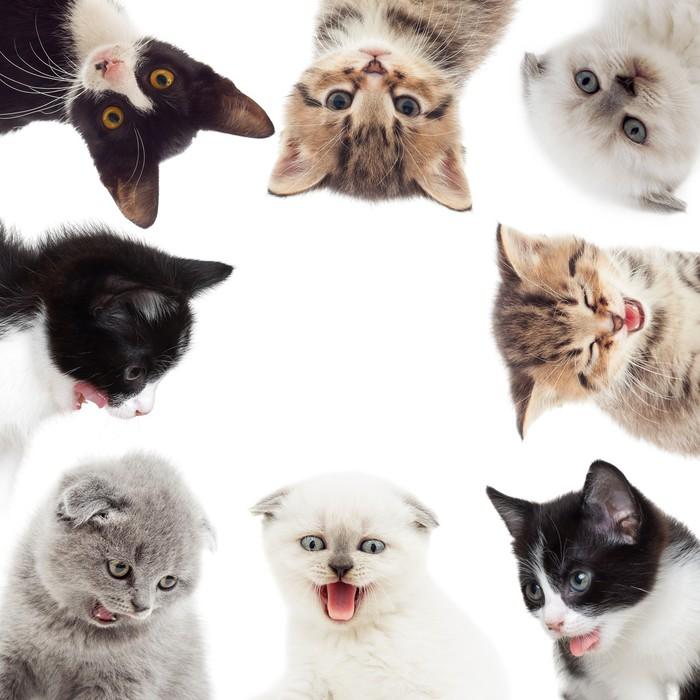 Vinylová Tapeta Legrační koťata - Savci